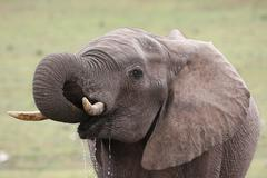 African Elephant Quenching Thirst - stock photo