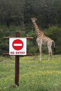 No Entry Sign and Giraffe - stock photo