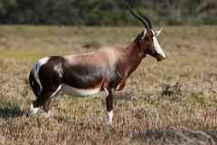 Bontebok Antelope Stock Photos