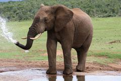 African Elephant at Water - stock photo