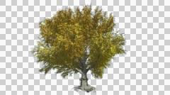 American Beech Alfa Chanel, Swaying Tree, Branches, Chromakey, Chroma Key, Stock Footage