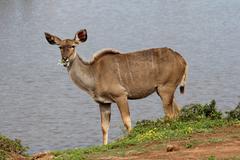 Kudu Antelope Eating - stock photo