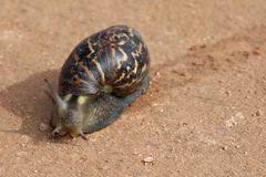 Giant Snail - stock photo
