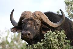 African Buffalo Stare - stock photo