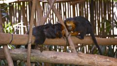 Pair of Monkeys at the Zoo Stock Footage