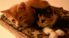 Two beautiful kittens laying together Stock Footage