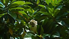 Cute Monkey Searches Tree Branches for Food Stock Footage