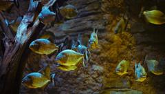 School of Piranhas in a Public Aquarium Stock Footage