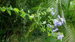 Flower Plumbago auriculata, tropical forest - stock footage