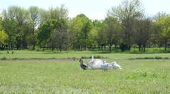 Geese in the village of nibbling grass - poultry on green nature meadow Stock Footage