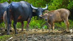 Group of Water Buffalo Watching from the River Bank Stock Footage
