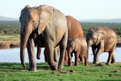 Elephants Family at Waterhole - stock photo