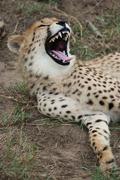 Cheetah Wild Cat Teeth Stock Photos
