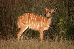 Nyala Antelope Female - stock photo