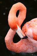 Carribean Flamingo Bird - stock photo