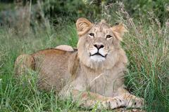 Wild Lion in African Grass Land - stock photo