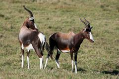 Bontebok or Blesbok Antelope Stock Photos