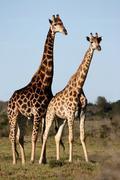 Stock Photo of Giraffe Pair