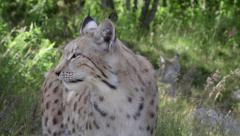 Eurasian Lynx close up view head upper body watching turn head left to right Stock Footage