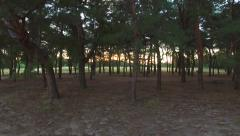 AERIAL: Flying near the pine tree in the forest. Sunrise. Stock Footage
