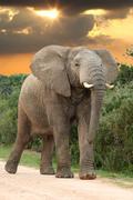 African Elephant at Sunset Stock Photos
