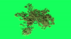 Acacia Top Chromakey, Tree, Swaying Tree, Swaying Branches, Top Down, Chroma Stock Footage