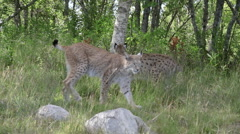 Two Eurasian Lynx walking one laying down Stock Footage