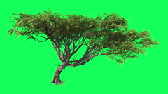 Acacia Chromakey Tree, Swaying Tree, Swaying Branches Chroma Key, Alfa, Green Stock Footage