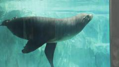 Seal in a tank at the Zoo Stock Footage