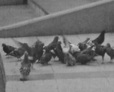Vintage shot of pigeons on public square B&W super8 film - stock footage