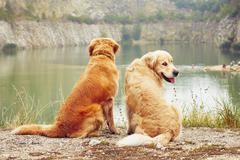 Lake for swimming. Two golden retriever dogs in old stone quarry. - stock photo