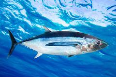 Albacore tuna fish Thunnus Alalunga - stock photo