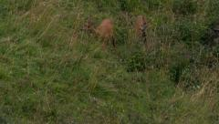 Young roe deer and his mother grazing Stock Footage