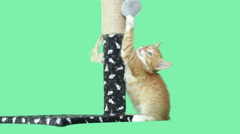 Kitten playing with a toy on a green background Stock Footage