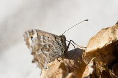 gray butterfly - stock photo