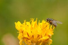 Common Housefly on a Dandelion - stock photo