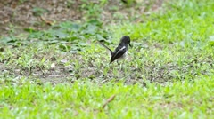 Magpie robin eating pork Stock Footage