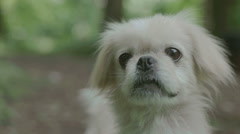 Pekinese dog in nature Stock Footage