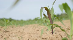Corn field plants slow moving on wind 4K 3840X2160 UHD  footage - Cultivated Stock Footage