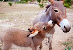 Baby donkey mule with mother Stock Photos