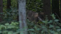 Gray Wolf walking through a forest Stock Footage