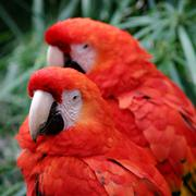 Red Scarlet Macaw - stock photo