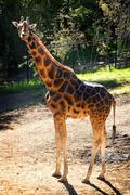 Baringo Giraffe Stock Photos