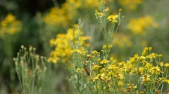Ragwort with caterpillars of the Cinnabar moth Stock Footage