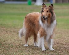 Beautiful Collie observing the park Stock Photos
