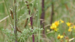 Caterpillars of the Cinnabar Moth feeding on ragwort Stock Footage