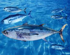 Albacore Thunnus alalunga fish and bluefin tuna - stock photo