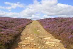 Stock Photo of bridleway through flowering heather