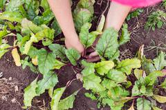 Farmer thinning out and mulching young beetroot plants on a garden bed. Garde Stock Photos