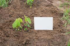 Young soya plant on a farm. Organic soybean seedlings in a garden. Stock Photos
